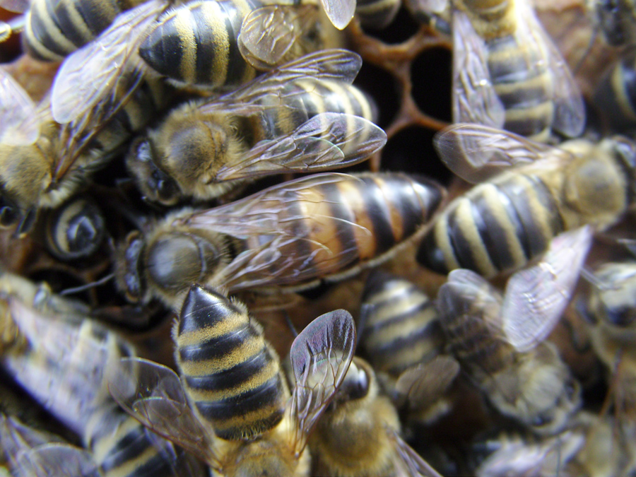 Batsis Apiculture Queen Bees Races