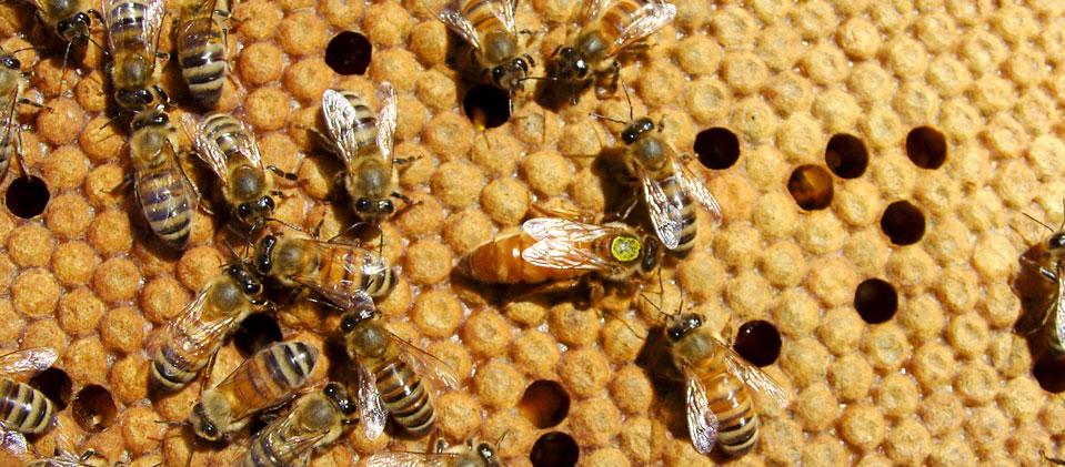 Αποτέλεσμα εικόνας για μελισσοκομία
